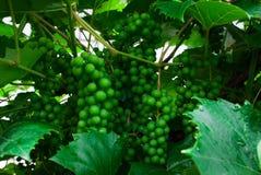 Виноградное вино с виноградинами младенца - лоза с малыми ягодами виноградины Youn стоковое фото