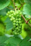 виноградное вино Стоковое Фото