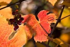виноградное вино Стоковая Фотография