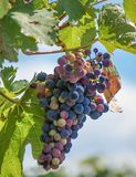 Виноградные вина на виноградном вине стоковая фотография rf