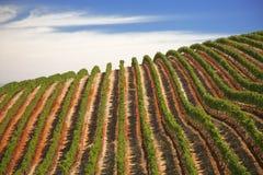 виноградные вина Стоковое Изображение