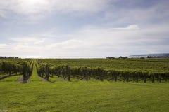 виноградные вина стоковая фотография