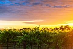 Виноградные лозы в Вейл McLaren на заходе солнца Стоковые Фотографии RF