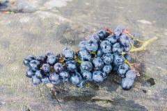 Виноградные лозы как куст плюща Это будет иметь длинное плавное движение до 10 метров Стоковые Фотографии RF