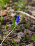 Виноградный гиацинт, armeniacum Muscari, цветок весны с концом-вверх предпосылки bokeh, селективным фокусом, отмелым DOF Стоковые Фотографии RF