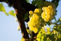 виноградина возмужалая Стоковые Изображения