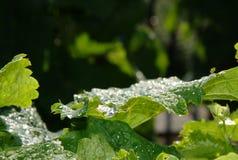 Виноградина выходит с падениями росы в раннем утре стоковая фотография rf