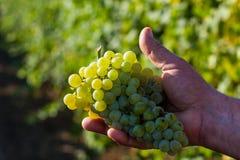 Виноградина в руках Стоковое Изображение RF