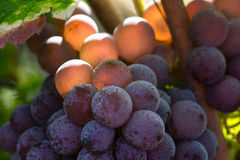 Виноградина красного вина Стоковые Изображения
