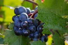 Виноградина красного вина Стоковое Фото