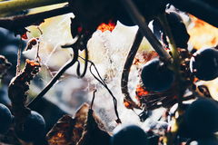 виноградина Красно-вина в осени покрытой с паутиной Стоковая Фотография