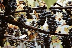 виноградина Красно-вина растя в винограднике осени Стоковое фото RF