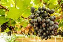 Виноградина на дереве в ферме Стоковая Фотография