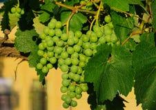 Виноградина на лозе стоковое изображение rf