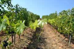 Виноградина лозы Стоковые Фотографии RF