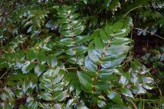 Виноградина Орегона/aquifolia Mahonia листья Стоковая Фотография