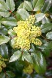 Виноградина Орегона (Mahonia) Стоковое Фото