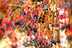виноградина одичалая Стоковые Изображения