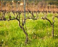 Виноградина приземляется на зеленое поле в Франции Стоковые Фото