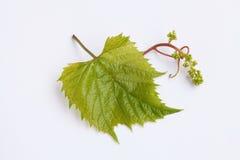 виноградина рамки предпосылки искусства выходит бумажная акварель текстуры Стоковое Изображение