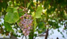 Виноградина Стоковые Изображения