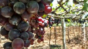 Виноградина стоковое фото rf