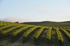 Виноградина fields Napa Valley на пути к Santa Rosa Стоковые Изображения RF