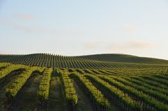 Виноградина fields Napa Valley на пути к Santa Rosa Стоковая Фотография RF