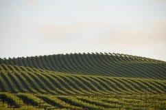 Виноградина fields Napa Valley на пути к Santa Rosa Стоковое Фото