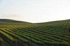 Виноградина fields Napa Valley на пути к Santa Rosa Стоковые Фотографии RF
