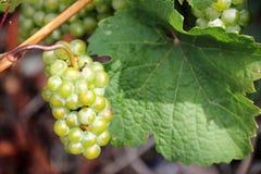 Виноградины белого вина вдоль реки Мозель (Mosel), Германии Стоковое Фото