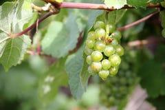 Виноградины белого вина вдоль реки Мозель (Mosel), Германии Стоковая Фотография