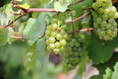 Виноградины белого вина вдоль реки Мозель (Mosel), Германии Стоковые Фотографии RF