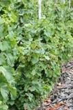 Виноградины белого вина вдоль реки Мозель (Mosel), Германии Стоковые Изображения RF