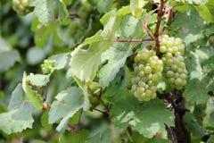 Виноградины белого вина вдоль реки Мозель (Mosel), Германии Стоковые Изображения