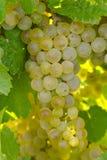 Виноградины белого вина Стоковое Изображение