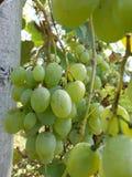 виноградины белые Стоковое Изображение