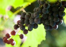 виноградины ветви зеленеют зрелое Стоковые Фото