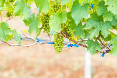 Виноградины ветви молодые на лозе в винограднике Стоковое Фото