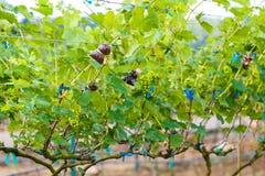 Виноградины ветви молодые на лозе в винограднике Стоковое Изображение