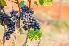 Виноградины ветви молодые на лозе в винограднике Стоковые Изображения
