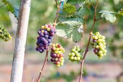 Виноградины ветви молодые на лозе в винограднике Стоковая Фотография