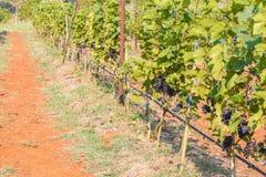 Виноградины ветви молодые на лозе в винограднике Стоковые Изображения RF