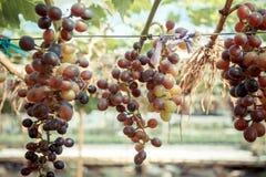 Виноградины ветви молодые на лозе в винограднике Стоковая Фотография RF