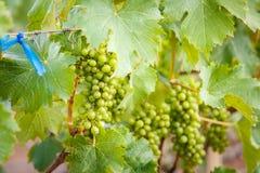 Виноградины ветви молодые на лозе в винограднике Стоковые Фото