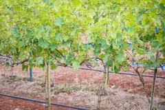Виноградины ветви молодые на лозе в винограднике Стоковые Фотографии RF