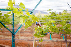 Виноградины ветви молодые на лозе в винограднике Стоковое Изображение RF