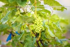 Виноградины ветви молодые на лозе в винограднике Стоковое фото RF