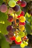 Виноградины вина готовые для сбора Стоковая Фотография RF