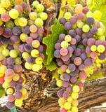 Виноградины вина готовые для сбора Стоковая Фотография